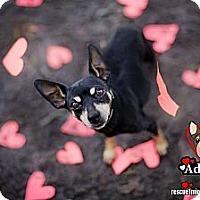 Adopt A Pet :: Darla - Huntington Beach, CA