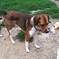 Beagle Dog for adoption in Columbia, Kentucky - Brownie