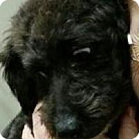 Adopt A Pet :: Jersey - non shed - Phoenix, AZ