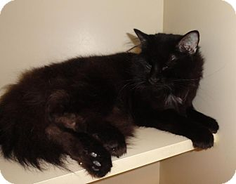 Maine Coon Cat for adoption in Memphis, Tennessee - Monster