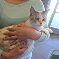 Calico Cat for adoption in Fresno, California - MaMa Kitty