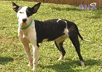 Pharaoh Hound Dog for adoption in Sebastian, Florida - Dixie