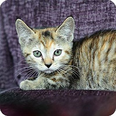 Domestic Shorthair Cat for adoption in Ft. Lauderdale, Florida - Tabitha