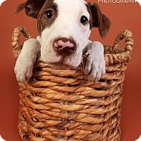 Adopt A Pet :: Cadbury - Arlington, VA