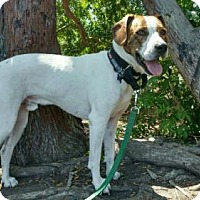 Beagle/Hound (Unknown Type) Mix Dog for adoption in Costa Mesa, California - Stitch
