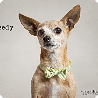 Adopt A Pet :: Speedy - Chandler, AZ