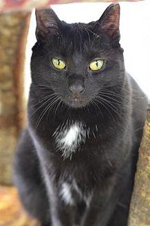 Domestic Shorthair Cat for adoption in Atlanta, Georgia - Girlfriend 150794