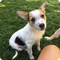Adopt A Pet :: Cookie Pie - Salt Lake City, UT