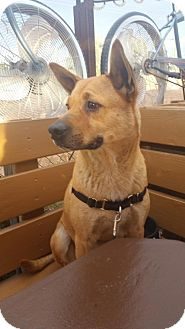 Shar Pei/Shepherd (Unknown Type) Mix Dog for adoption in Chandler, Arizona - SYLAS