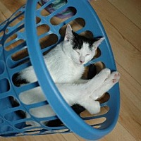 Domestic Shorthair Cat for adoption in Montreal, Quebec - Jules