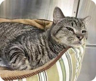 Domestic Shorthair Cat for adoption in Salisbury, Massachusetts - Buzzsaw