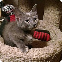 Domestic Shorthair Kitten for adoption in Tampa, Florida - Cordelia Naismith