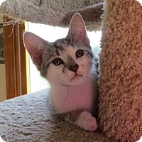Adopt A Pet :: Pearl kitten - Lockport, NY