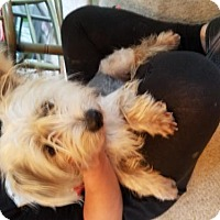 Yorkie, Yorkshire Terrier Mix Dog for adoption in Spring, Texas - Charlie
