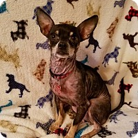 Chihuahua Mix Dog for adoption in Fairmont, West Virginia - Angelique