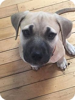 Black Mouth Cur Mix Puppy for adoption in Tomah, Wisconsin - Francine