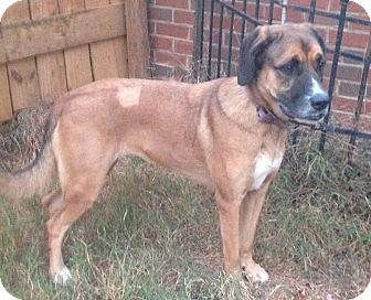 Rhodesian Ridgeback/Labrador Retriever Mix Dog for adoption in Westport, Connecticut - Rebekah PENDING