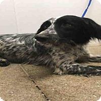 Adopt A Pet :: DEZI - Lawrence, KS