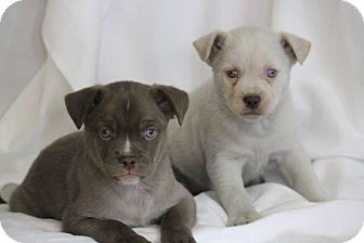 Boston Terrier Mix Puppy for adoption in Danbury, Connecticut - Levi