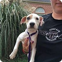 Hound (Unknown Type) Mix Puppy for adoption in Island Heights, New Jersey - Harley