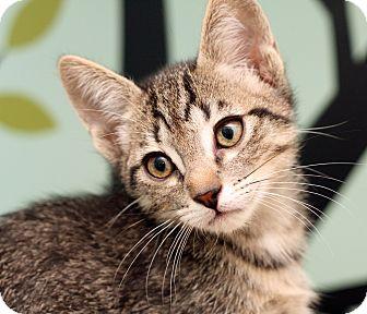 Domestic Shorthair Kitten for adoption in Royal Oak, Michigan - GOUDA
