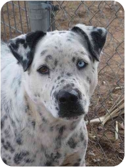 Dalmatian/American Pit Bull Terrier Mix Dog for adoption in Las Cruces, New Mexico - Sam