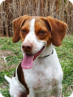 Beagle/Spaniel (Unknown Type) Mix Dog for adoption in Jackson, Michigan - Louie