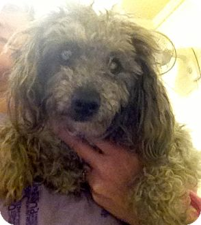Poodle (Miniature) Mix Dog for adoption in Richmond, Virginia - Doodle
