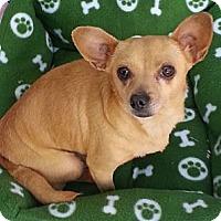 Adopt A Pet :: Bambi - Tumwater, WA