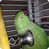 Adopt A Pet :: Indy - Punta Gorda, FL