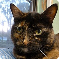 Domestic Shorthair Cat for adoption in Westville, Indiana - Mocha