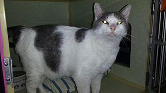 Domestic Shorthair Cat for adoption in Iroquois, Illinois - Sawyer
