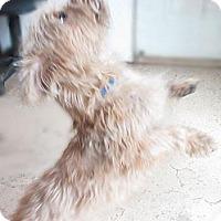 Adopt A Pet :: Gizmo - Westminster, MD