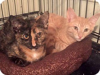 Domestic Shorthair Kitten for adoption in Brooklyn, New York - Hillary & Bernie: Bonded Sibs & Cuddle Candidates
