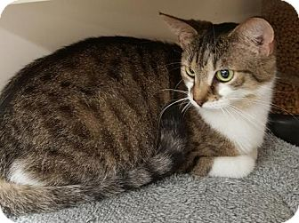 Domestic Shorthair Cat for adoption in Germantown, Maryland - Kiley