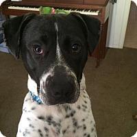 Australian Cattle Dog/Pointer Mix Dog for adoption in San Antonio, Texas - A366188 Zeus