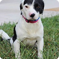 Adopt A Pet :: Ringo - Waldorf, MD