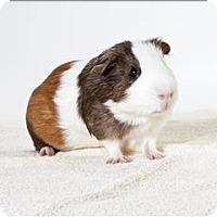 Adopt A Pet :: Pancho - Monterey, CA