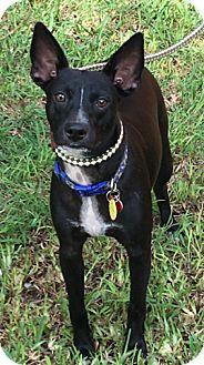 Miniature Pinscher Mix Puppy for adoption in Homestead, Florida - Freddie