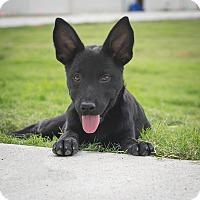 Adopt A Pet :: Mila - Plano, TX