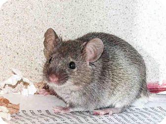Mouse for adoption in Denver, Colorado - FUDGE