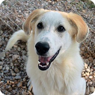 Retriever (Unknown Type)/Great Pyrenees Mix Puppy for adoption in Waco, Texas - Mary Jane