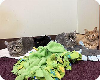 Polydactyl/Hemingway Kitten for adoption in Duncan, British Columbia - Sascha,Tink,  Violet, Piper