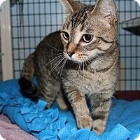 Bengal Cat for adoption in Ann Arbor, Michigan - Pepper