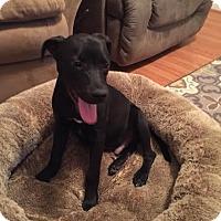 Labrador Retriever Mix Puppy for adoption in Charlotte, North Carolina - Dexter