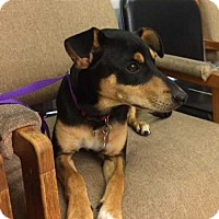 Miniature Pinscher Puppy for adoption in Boston, Massachusetts - Bodie Bodine