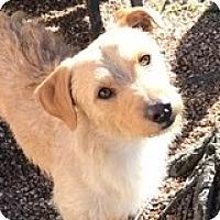 Adopt A Pet :: Brewster Bicuspid - Houston, TX