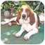 Photo 1 - Basset Hound Dog for adoption in Poway, California - Toby