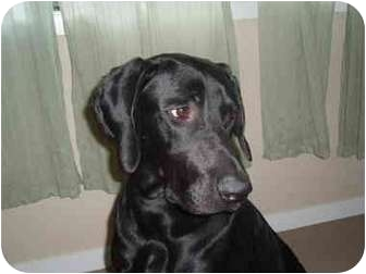 Great Dane/Labrador Retriever Mix Dog for adoption in Portland, Oregon - Beckham