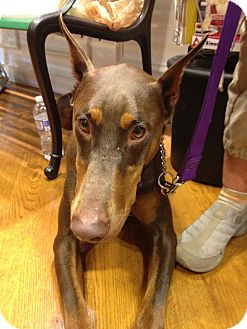 Doberman Pinscher Dog for adoption in New Richmond, Ohio - Reba--pending